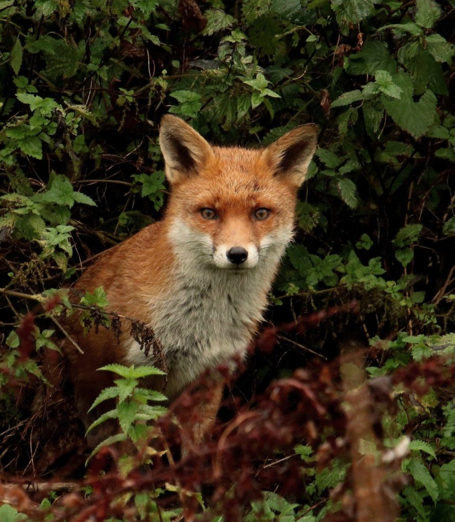 Red Fox - Iain Nibbsy