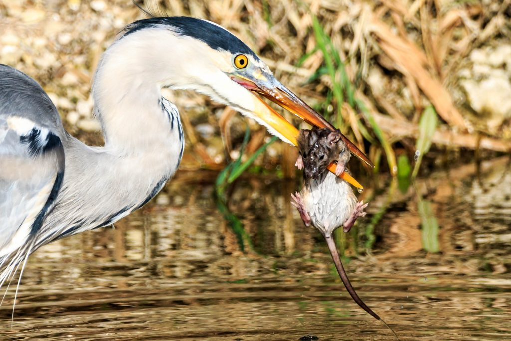 Heron and Rat - Clive Tomlinson