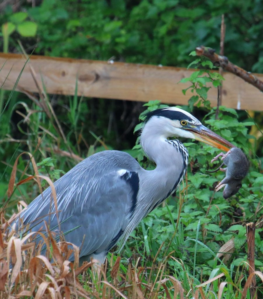 Heron and Rat - Iain Nibbsy