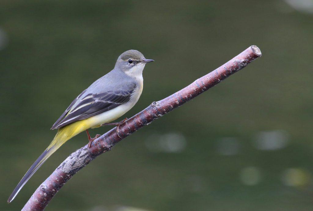 Grey Wagtail - Iain Nibbsy