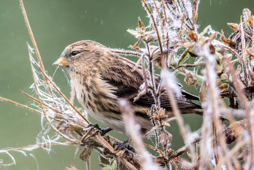 Redpoll - Clive Tomlinson