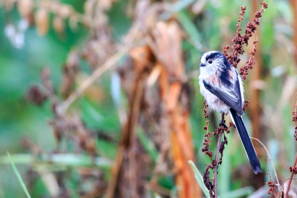 Long-Tailed Tit - Clive Tomlinson