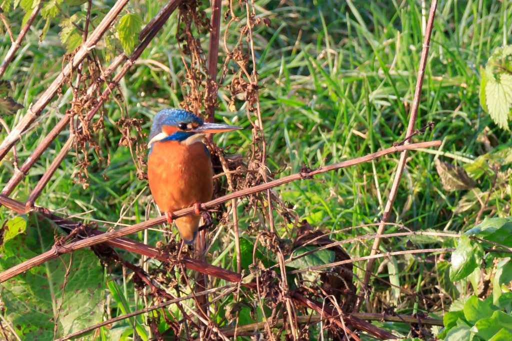 Kingfisher - Clive Tomlinson