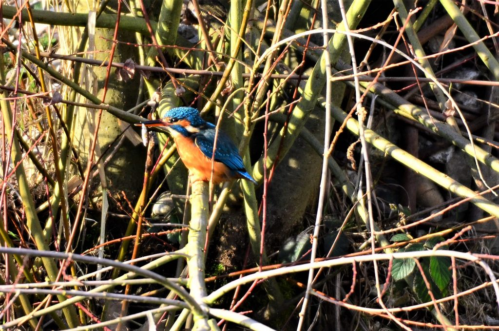 Kingfisher - Steve Rogers
