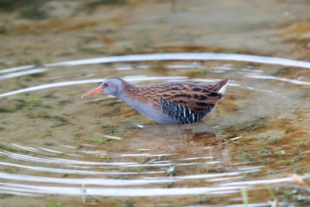 Water Rail - Clive Tomlinson