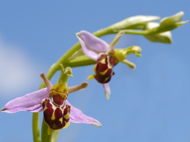 Bee Orchid - Lucy Flower