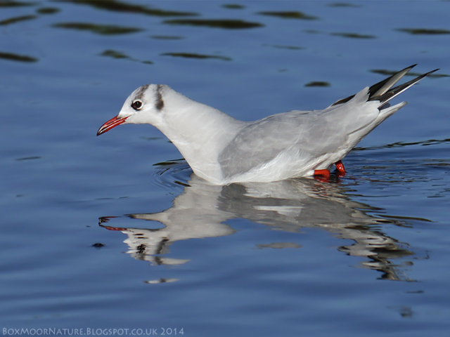 Black Headed Gull - Lucy Flower