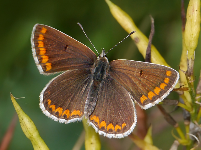 Brown Argus - Lucy Flower