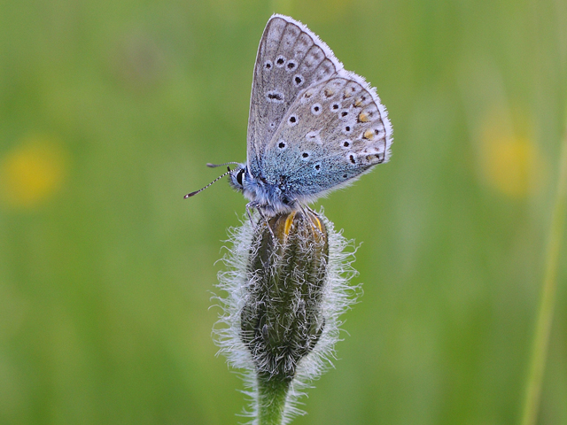 Common Blue - Chris Ward