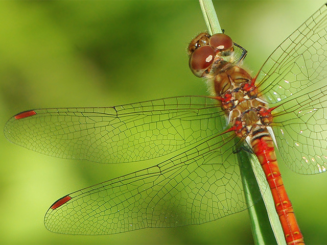 Common Darter - Dan Forder