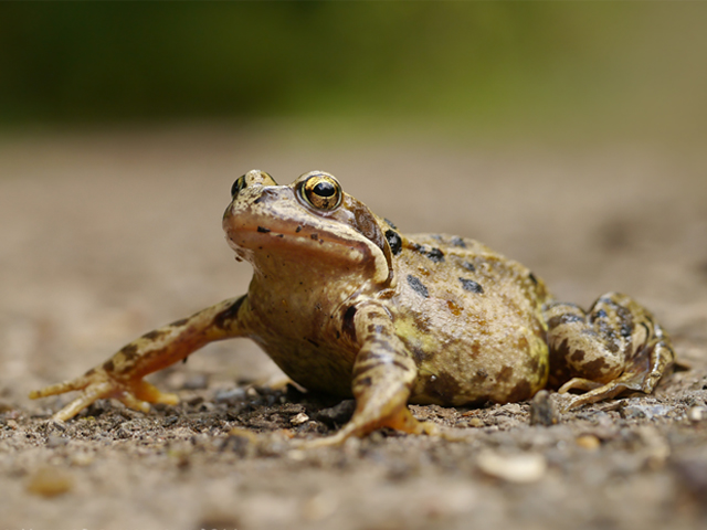 Common Frog - Lucy Flower