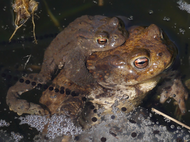 Common Toad - Lucy Flower