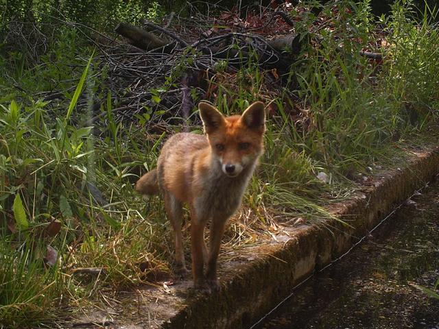 Fox - Trail Camera