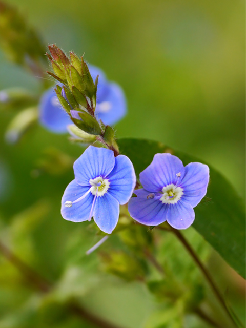 Germander Speedwell - Lucy Flower