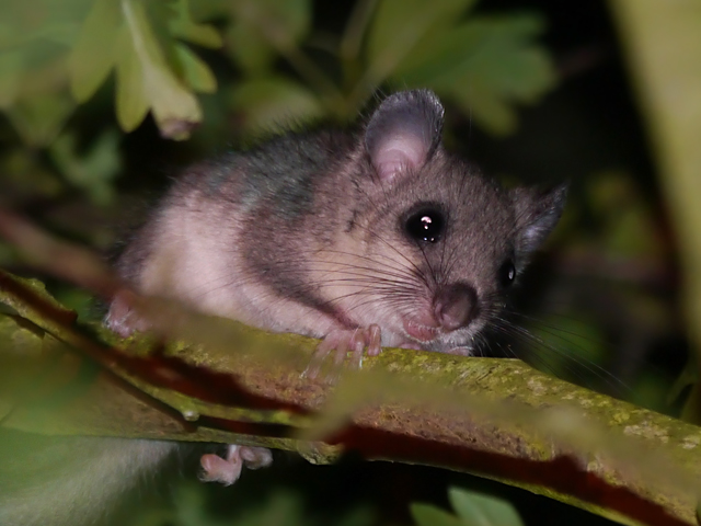 Edible Dormouse (Glis glis) - Lucy Flower