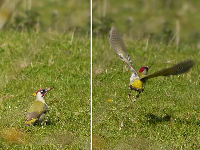 Green Woodpecker - Lucy Flower
