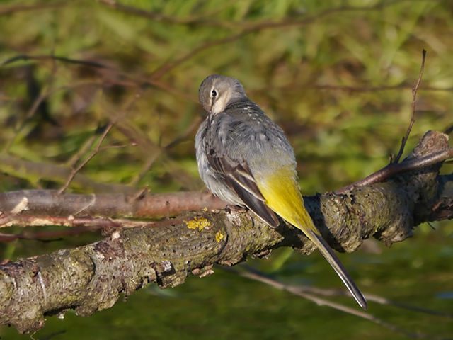 Grey Wagtail - Lucy Flower