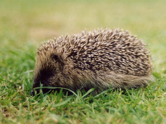 Hedgehog - Keith Barton