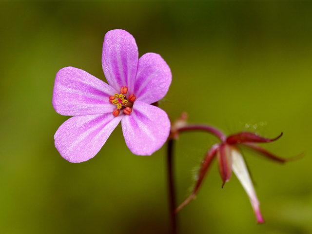 Herb Robert - Lucy Flower