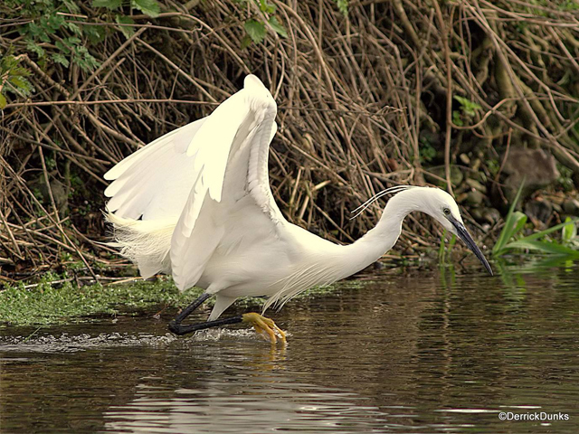 Little Egret - Derrick Dunks