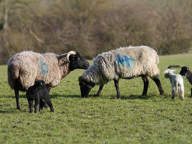 Sheep (Norfolk Horns) - Lucy Flower