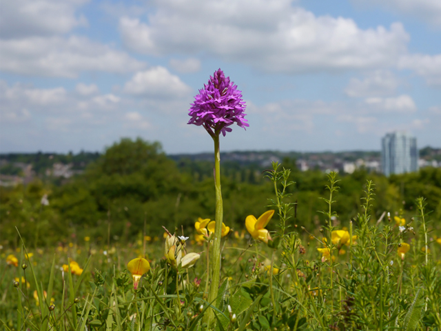 Pyramid Orchid - Lucy Flower