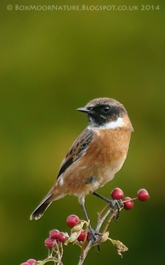 Stonechat - Lucy Flower