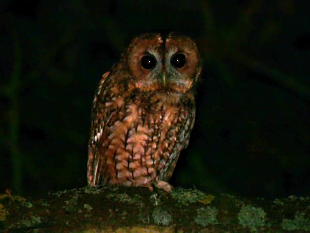 Tawny Owl - Lucy Flower