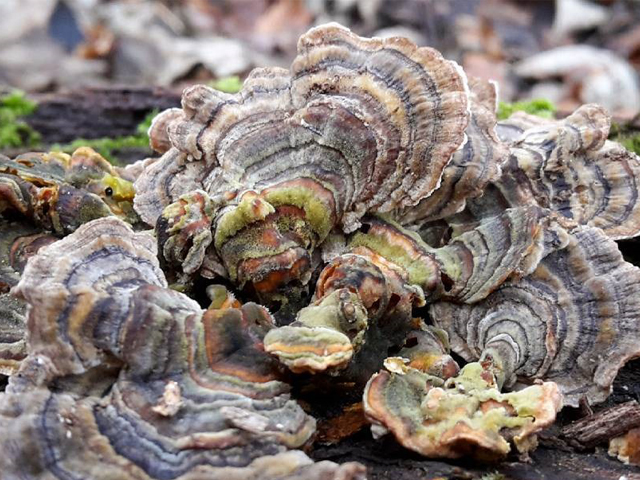 Turkey Tail - Alice Vesty