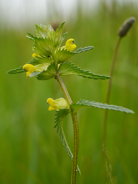 Yellow Rattle - Lucy Flower