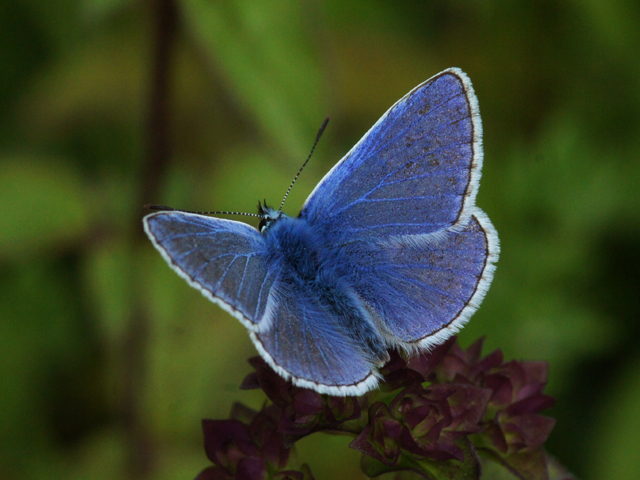 Common Blue - Brendan Sheridan