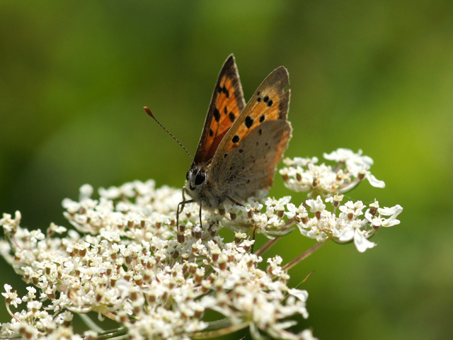 Small Copper - Brendan Sheridan
