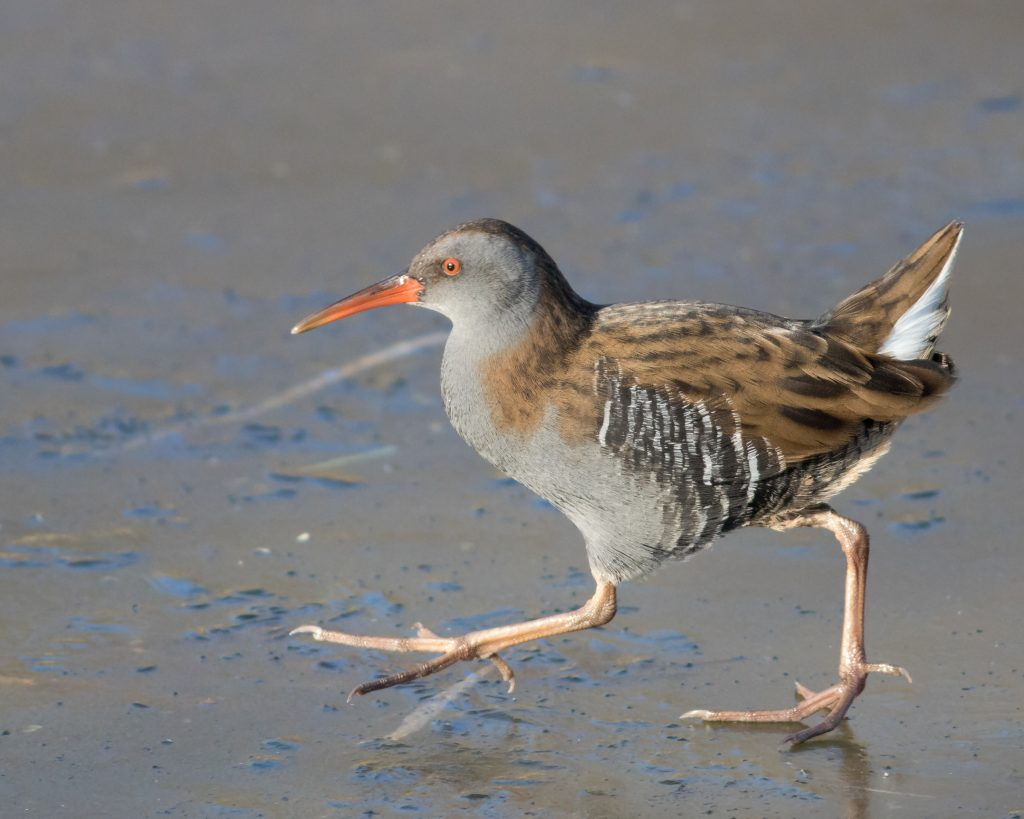 Water Rail - Rob Simons